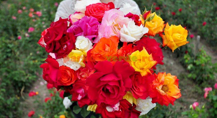 Culorile trandafirilor